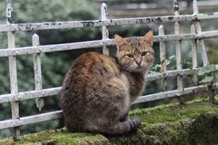 Ήρεμη νέα γάτα που κοιτάζει επίμονα στη κάμερα Στοκ Εικόνες