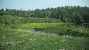 Ήρεμος βαλτώδης ποταμός στο δάσος, θερινό πρωινό λιβάδι φιλμ μικρού μήκους