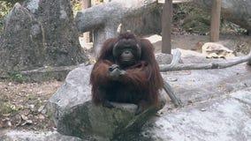 Ήρεμος orangutan με τη μακριά καφετιά γούνα κάθεται στο μεγάλο γκρίζο βράχο φιλμ μικρού μήκους