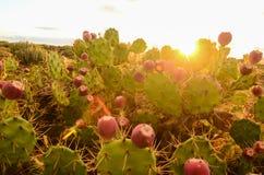 Ήρεμο ηλιοβασίλεμα ερήμων κάκτων Στοκ Φωτογραφίες