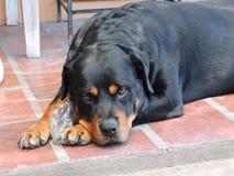 Ήρεμο και όμορφο Rottweiler Στοκ εικόνες με δικαίωμα ελεύθερης χρήσης