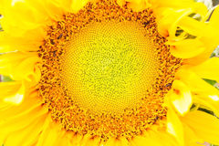 ήλιος κήπων λουλουδιών Στοκ Φωτογραφίες