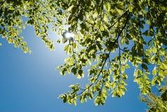 Ήλιος και πράσινα φύλλα του δέντρου Στοκ εικόνες με δικαίωμα ελεύθερης χρήσης