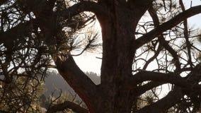 Ήλιος πίσω από τον ολισθαίνοντα ρυθμιστή δέντρων πεύκων φιλμ μικρού μήκους