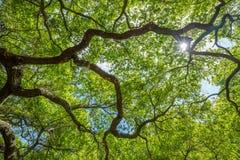 Ήλιος που λάμπει μέσω ενός θόλου δέντρων Στοκ Εικόνες