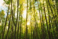 Ήλιος που λάμπει μέσω των κορμών των ψηλών ξύλων δέντρων στο δάσος στο ευρωπαϊκό μέρος της Ρωσίας Στοκ Εικόνα