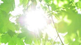 Ήλιος που λάμπει μέσω των φρέσκων πράσινων φύλλων σφενδάμου ανοίξεων που ταλαντεύονται στον αέρα απόθεμα βίντεο