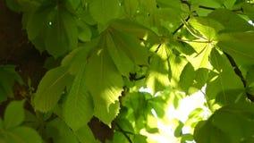 Ήλιος που λάμπει μέσω των φωτεινών φύλλων άνοιξη του κάστανου φιλμ μικρού μήκους