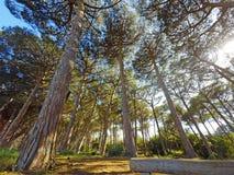 Ήλιος που λάμπει σε όλα τα δέντρα πεύκων Στοκ Εικόνες
