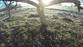 Ήλιος που κινείται μέσω του παλαιού δέντρου μηλιάς το πρωί, χρονικό σφάλμα 4K απόθεμα βίντεο