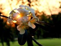 Ήλιος υποβάθρου λουλουδιών Plumeria Στοκ Εικόνα
