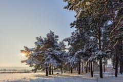 Ήλιος χειμερινών δασικός πεύκων Στοκ φωτογραφίες με δικαίωμα ελεύθερης χρήσης