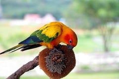 Ήλιος Conure, κόκκινος πορτοκαλής κιτρινοπράσινος και μπλε παπαγάλος χρώματος που τρώει τους σπόρους ηλίανθων Στοκ Εικόνες