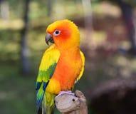 Ήλιος Conure parakeet στοκ φωτογραφίες με δικαίωμα ελεύθερης χρήσης