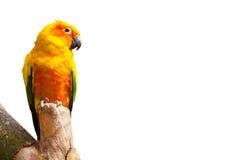 Ήλιος parakeet, πουλί παπαγάλων solstitialis Aratinga στο άσπρο υπόβαθρο με το copyspace Στοκ εικόνα με δικαίωμα ελεύθερης χρήσης