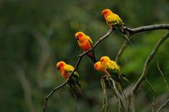 Ήλιος Parakeet, solstitialis Aratinga, σπάνιος παπαγάλος από τη Βραζιλία και γαλλική Γουιάνα Κιτρινοπράσινος παπαγάλος πορτρέτου  Στοκ φωτογραφία με δικαίωμα ελεύθερης χρήσης