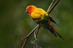 Ήλιος Parakeet, solstitialis Aratinga, σπάνιος παπαγάλος από τη Βραζιλία και γαλλική Γουιάνα Κιτρινοπράσινος παπαγάλος πορτρέτου  Στοκ εικόνα με δικαίωμα ελεύθερης χρήσης