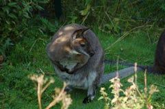 17 _01 _λίγα kangaroo_2009-0814-0001 Στοκ Εικόνες