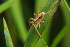 λίγη αράχνη Στοκ Φωτογραφίες