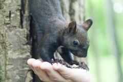 λίγος σκίουρος Στοκ εικόνα με δικαίωμα ελεύθερης χρήσης