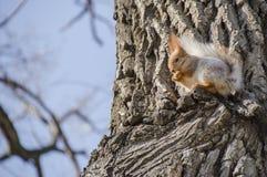 λίγος σκίουρος Στοκ Φωτογραφία