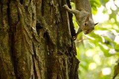 λίγος σκίουρος Στοκ Φωτογραφίες