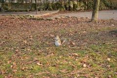 λίγος σκίουρος Στοκ φωτογραφίες με δικαίωμα ελεύθερης χρήσης