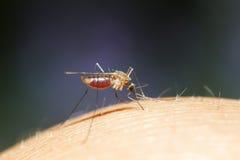 λίγο κουνούπι κάθεται και πίνει το αίμα μιας πλήρους κοιλιάς Στοκ εικόνες με δικαίωμα ελεύθερης χρήσης