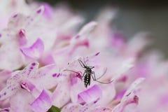 λίγο κουνούπι Στοκ Φωτογραφίες