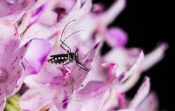 λίγο κουνούπι Στοκ Εικόνα