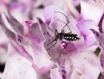 λίγο κουνούπι Στοκ φωτογραφία με δικαίωμα ελεύθερης χρήσης