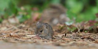 λίγο ποντίκι Στοκ Φωτογραφία