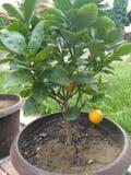 λίγο πορτοκάλι Στοκ Εικόνες