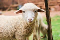 λίγο πρόβατο Στοκ φωτογραφίες με δικαίωμα ελεύθερης χρήσης