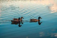 λίμνη παπιών Στοκ εικόνα με δικαίωμα ελεύθερης χρήσης