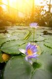 λίμνη λωτού λουλουδιών Στοκ εικόνα με δικαίωμα ελεύθερης χρήσης