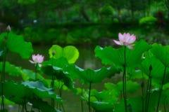 λίμνη λωτού λουλουδιών Στοκ Φωτογραφίες