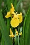 ίριδα κίτρινη Στοκ εικόνα με δικαίωμα ελεύθερης χρήσης