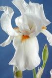 ίριδα λουλουδιών Στοκ Εικόνα