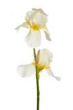 ίριδα λουλουδιών Στοκ εικόνες με δικαίωμα ελεύθερης χρήσης