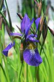 ίριδα λουλουδιών Στοκ εικόνα με δικαίωμα ελεύθερης χρήσης