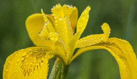 Ίριδα που καλύπτεται κίτρινη με τις πτώσεις νερού Στοκ Φωτογραφίες