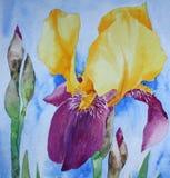 ίριδα που χρωματίζει watercolour Στοκ Φωτογραφίες
