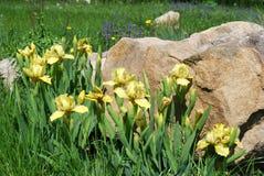 ίριδες κίτρινες Στοκ εικόνα με δικαίωμα ελεύθερης χρήσης