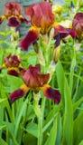Ίριδες λουλουδιών Όμορφη floral ανασκόπηση ανασκόπησης… με τα ζωηρόχρωμα λουλούδια Στοκ εικόνες με δικαίωμα ελεύθερης χρήσης