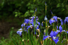 ίριδα Θερινό λουλούδι στοκ εικόνα