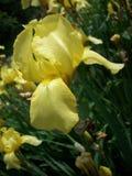 ίριδα λουλουδιών κίτρινη Στοκ Φωτογραφία