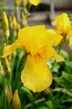 ίριδα λουλουδιών κίτρινη Στοκ εικόνα με δικαίωμα ελεύθερης χρήσης