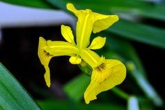 ίριδα λουλουδιών κίτρινη Στοκ Εικόνα