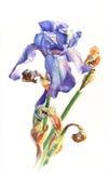 Ίριδα Watercolor Στοκ φωτογραφίες με δικαίωμα ελεύθερης χρήσης